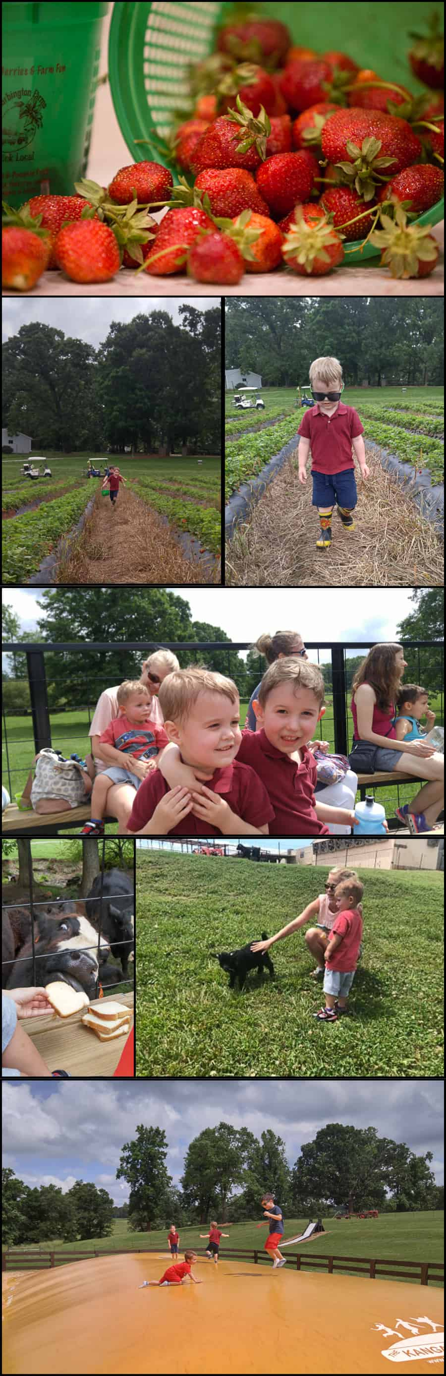 Strawberry Picking at Warbington Farms 2
